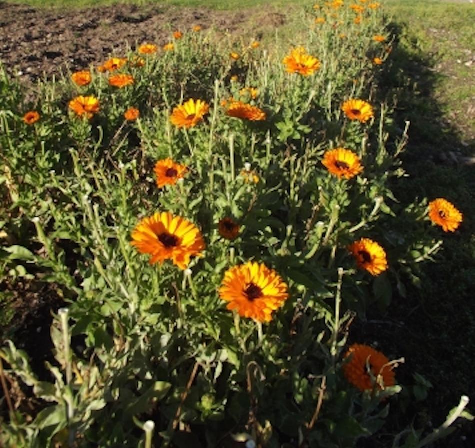 Fleurs de calendula en novembre